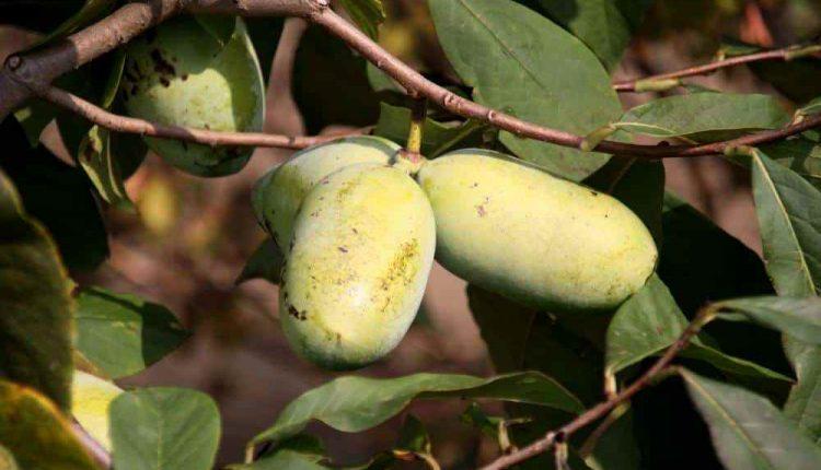 Закарпатець на своєму городі вирощує екзотичну рослину - азіміну (ФОТО), фото-1