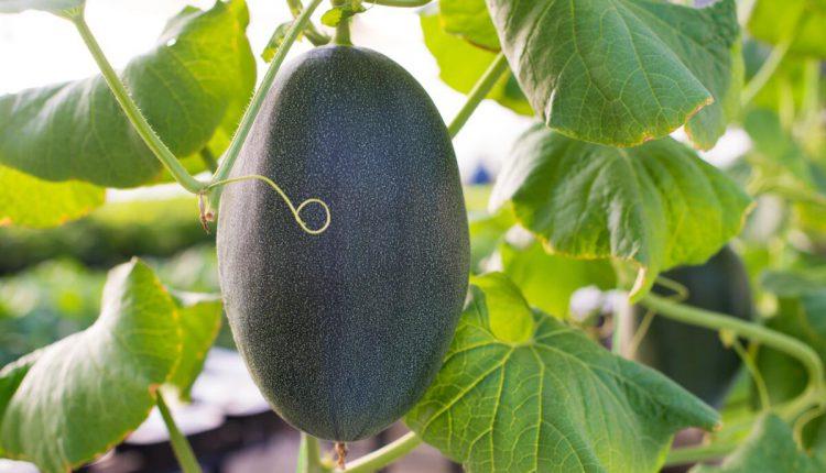 Николаевский фермер выращивает восковую тыкву - она может храниться 3 года (ФОТО) 1