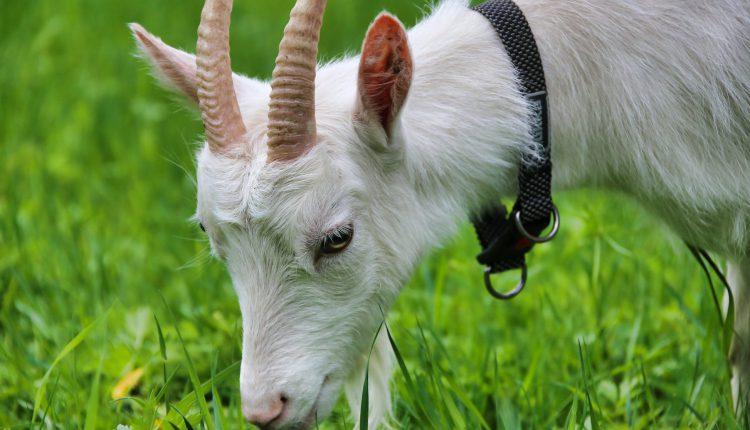 коза на полі фото