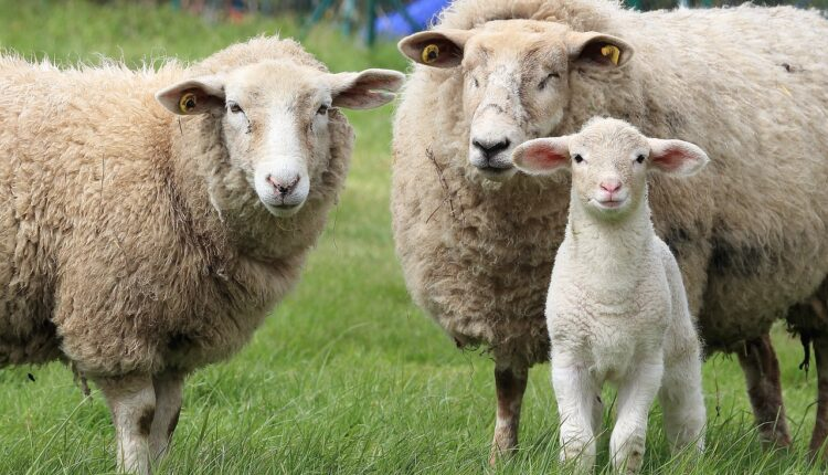 вівця та ягня