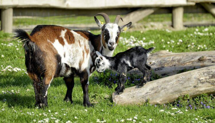 коза і козеня
