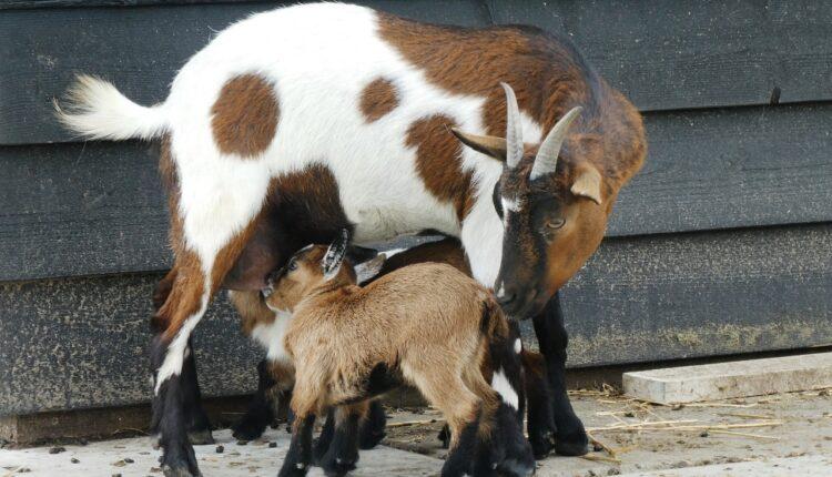 коза та козеня