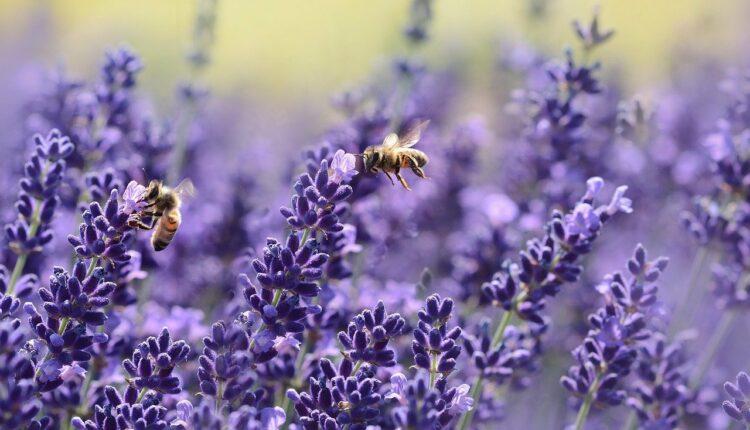бджоли на лаванді