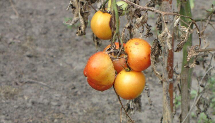 гнилі помідори