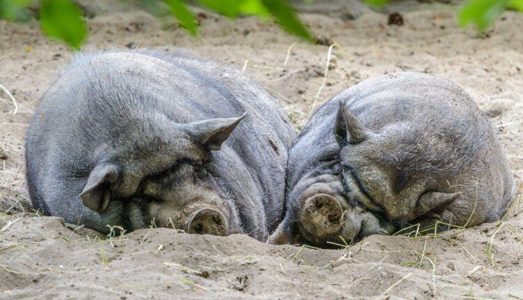 свині в пилюці
