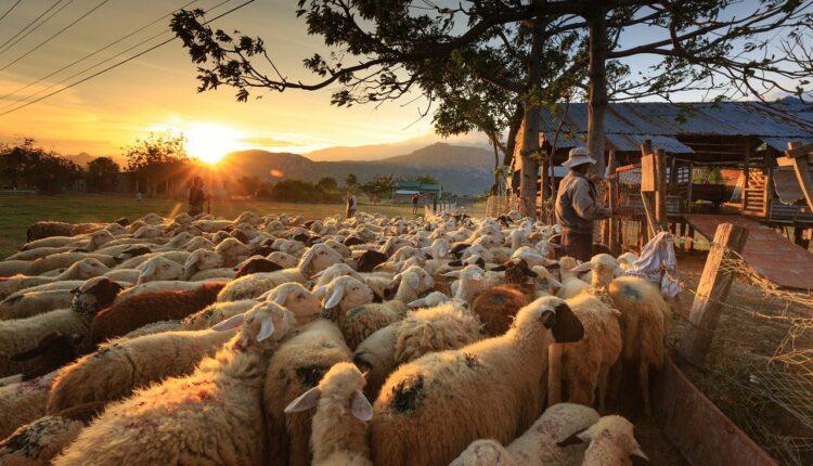 вівчар та отара овець