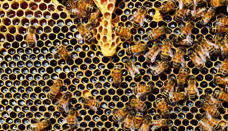 бджоли на стільнику