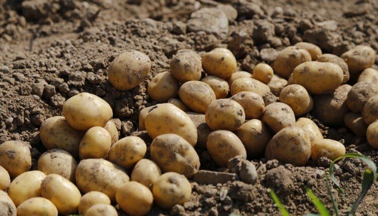 картопля на полі