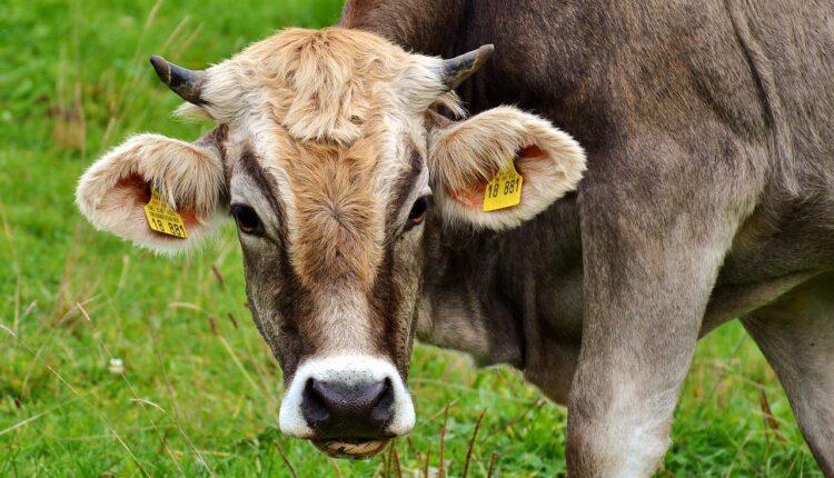 корова на пасовищі