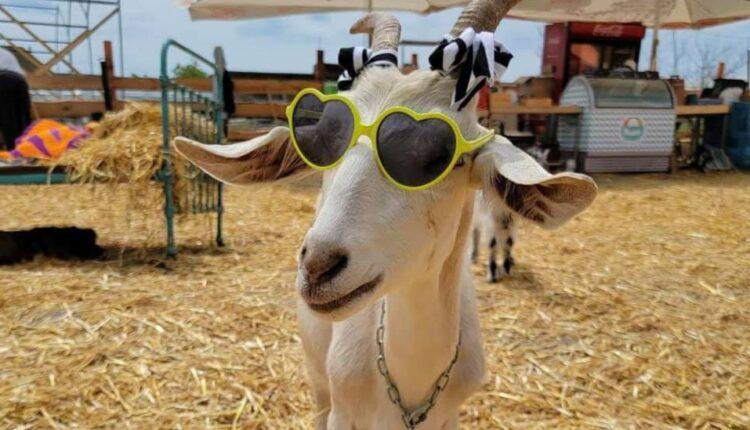 кози в окулярах