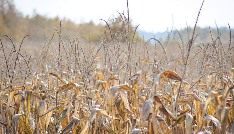 суха кукурудза