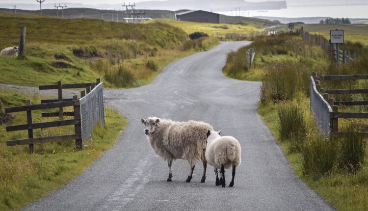 вівці на дорозі