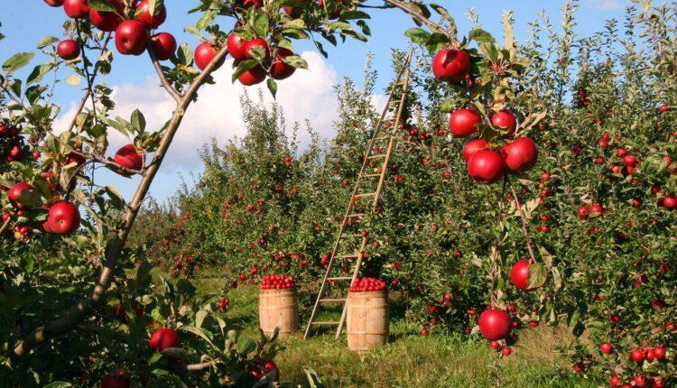 яблука на гілках