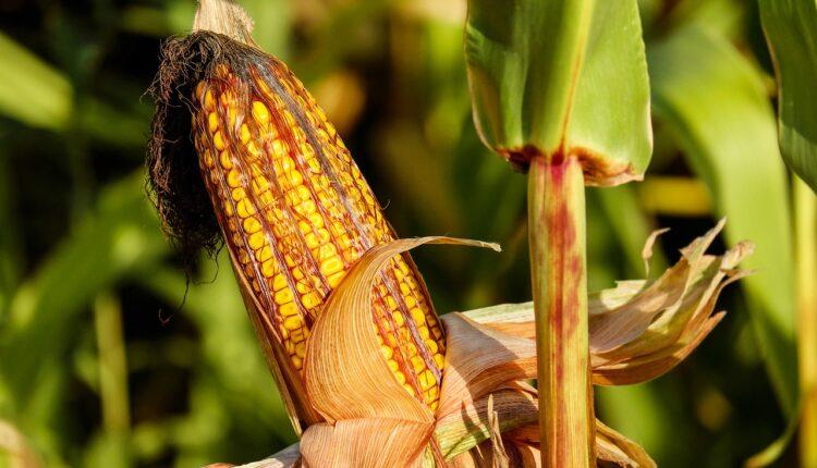 кукурудза на полі