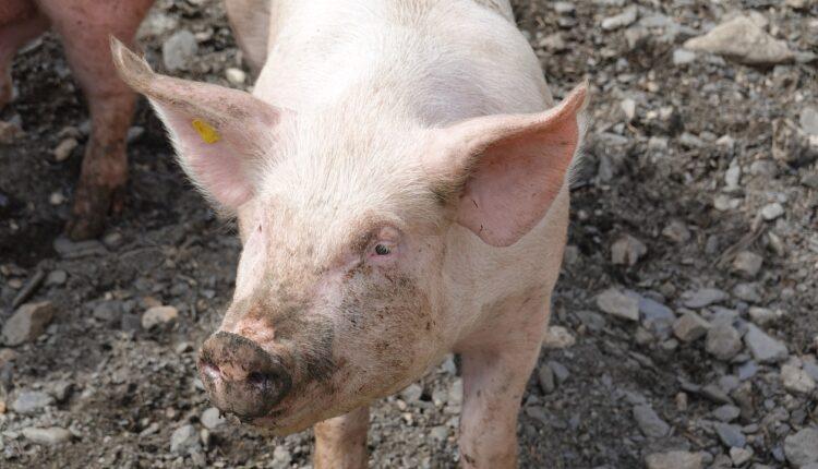 свиня в багнюці