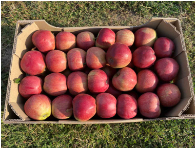 яблука в коробці